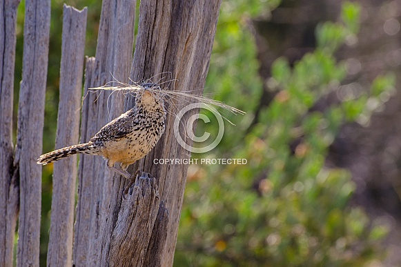 Cactus Wren collecting Nesting Material