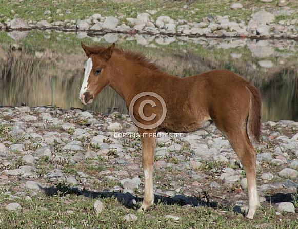 Wild Desert Colt