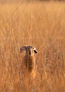 Lepus californicus Black tailed Jackrabbit