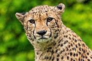Cheetah Close Up Face Shot