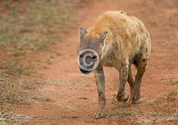 hyena RSA Kruger