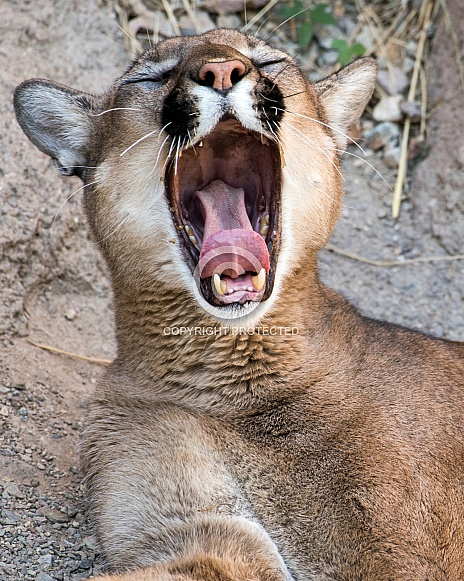 Mountain Lion Yawn