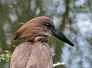 Hamerkop (Hammerhead)