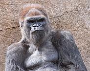 Western Lowland Gorilla Portrait (Male)