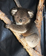 Koala Joey
