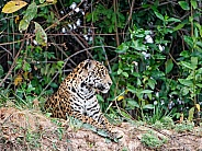 Jaguar Laying |Down in the Wild