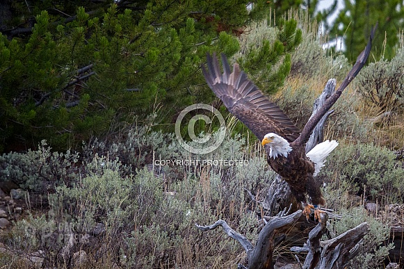 Bald Eagle Preparing for Flight