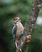 greater spotted woodpecker young