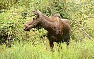 Moose, cow