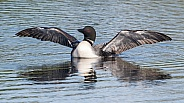 Common Loon in Alaska