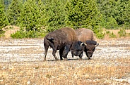 Bison Mating Ritual