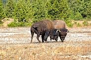 Bison Mating Ritual