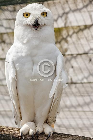 Full body Snowy Owl