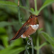 Rufous Hummingbird (Male)