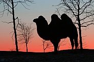 Twilight camel