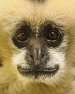 White Faced Gibbon