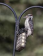 Hairy Woodpecker in Alaska at a Suet Feeder