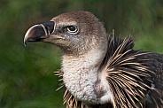 Ruppells Vulture Close Up Profile