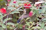 Broad-billed Hummingbird (Female)