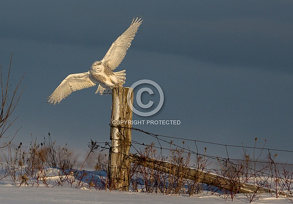 Female Snowy Owl Taking Off from a Fence Post