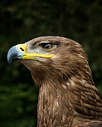 Steppe Eagle Portrait