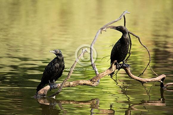 Little black cormorants (wild).