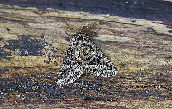 Brindled Beauty Moth