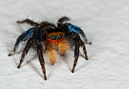 Jumping Spider - Salticidae