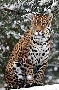 jaguar in the snow