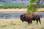 Bison on the Madison River