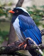 Occipital blue jay