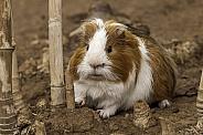 Guinea Pig Full Body
