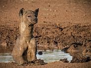 Hyena mudbath