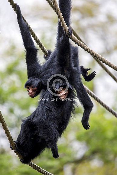 red-faced spider monkey (Ateles paniscus)