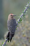 Gila Woodpecker (Male)