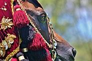 Bedouin Dreaming- Arabian Gelding