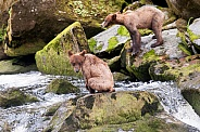 Two grizzly cubs