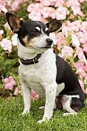 Tenterfield terrier (male).