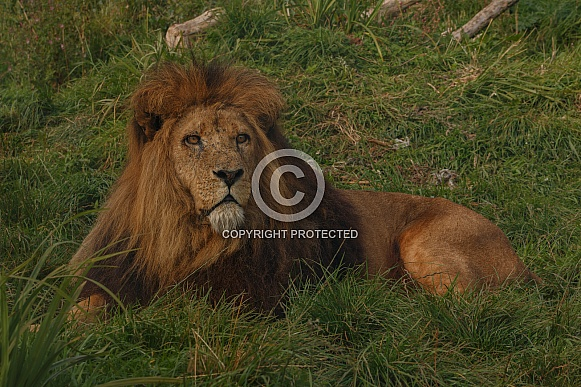 Male Lion Lying In The Grass