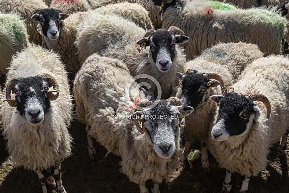 Swaledale Sheep - Yorkshire Dales - England