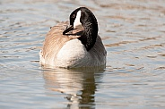 Canada goose on water