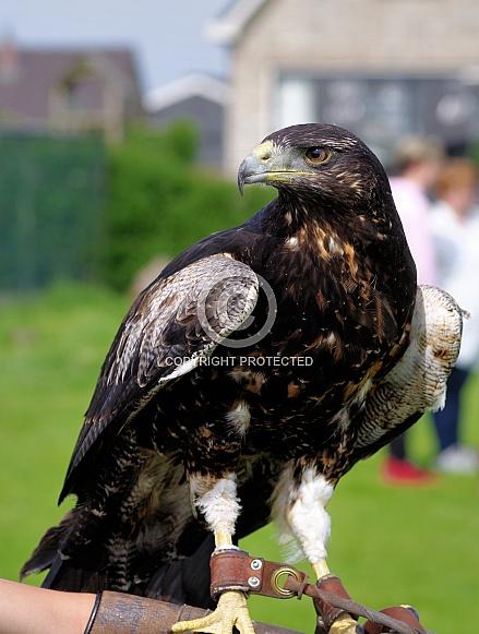 Black-chested buzzard-eagle, juvenile