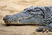 Crocodile (Crocodylinae)
