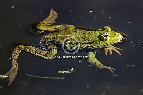 Frog Full Body In Water