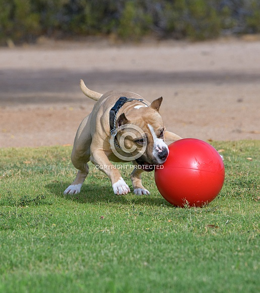 American Staffordshire Terrier playing with a ball