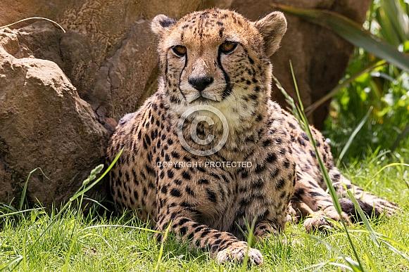 Cheetah Lying Down Resting