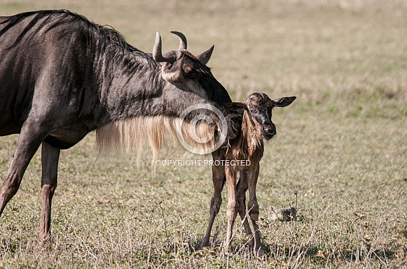Wildebeest and newborn calf