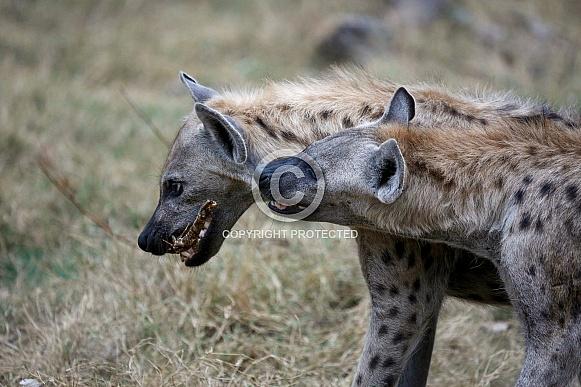 Hyenas (wild)
