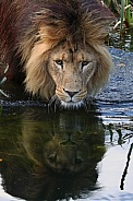 African lion by the water