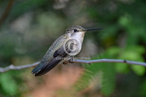 Hummingbird with Pollen on Face